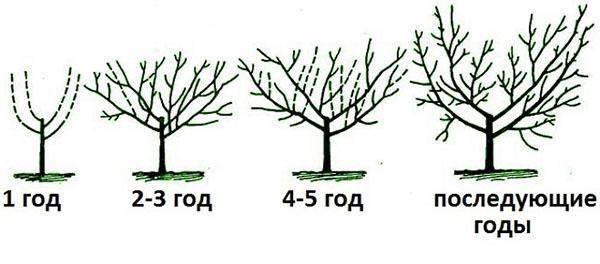 Обрезка абрикоса осенью: схема для начинающих, формирование кроны