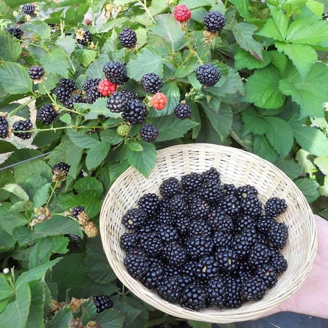 Ежевика рубен: описание и характеристика сорта, посадка и уход, размножение, сбор урожая