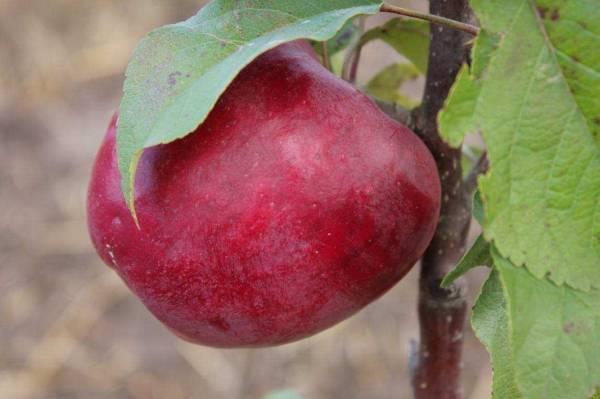 Яблоня лобо описание сорта и фото
