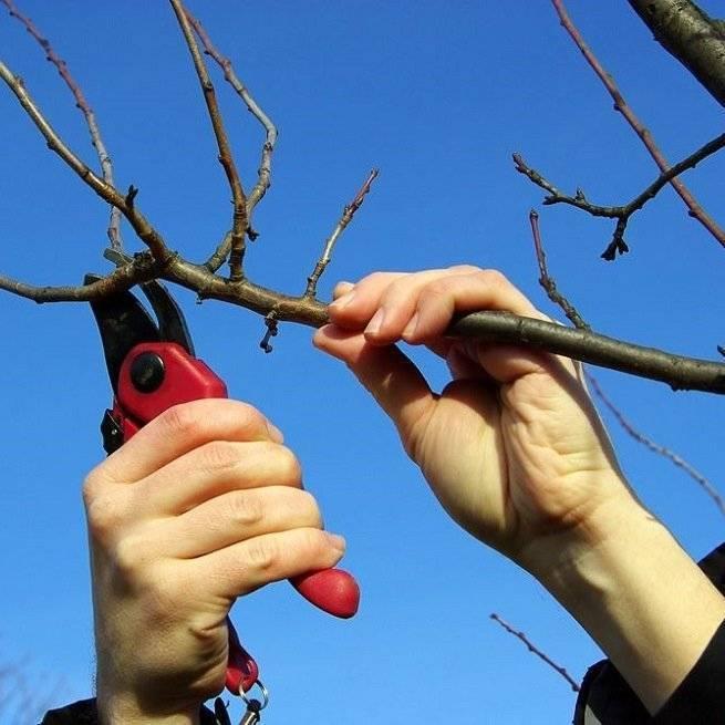 Обрезка вишни весной: как провести её грамотно