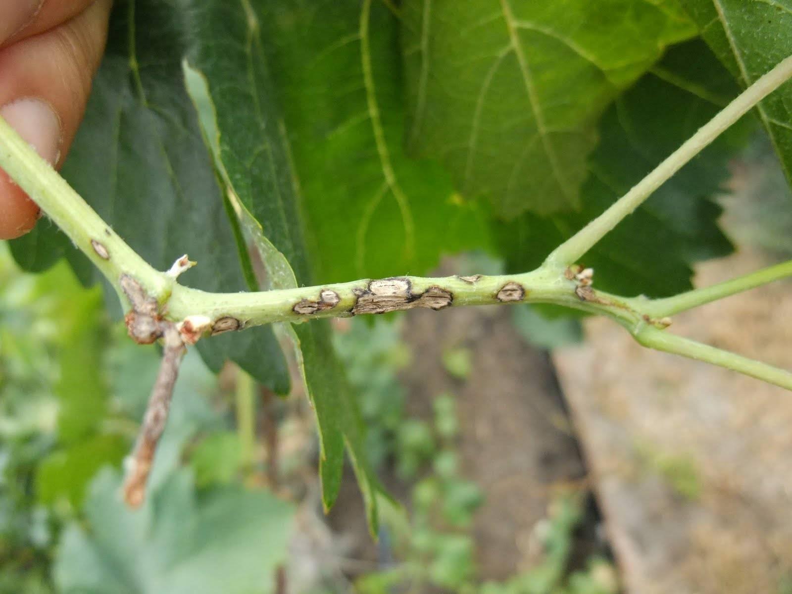 Болезни винограда – фото и чем лечить, основные грибковые, бактериальные, вирусные и неинфекционные заболевания – дачные дела