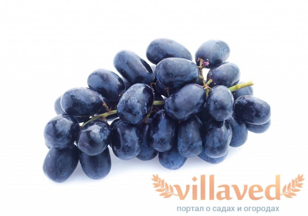Виноград валек, отзывы о гибриде, его преимущества, особенности выращивания