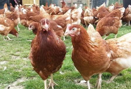 Разведение курс несушек: бизнес план по заработку на куриных яйцах в домашних условиях