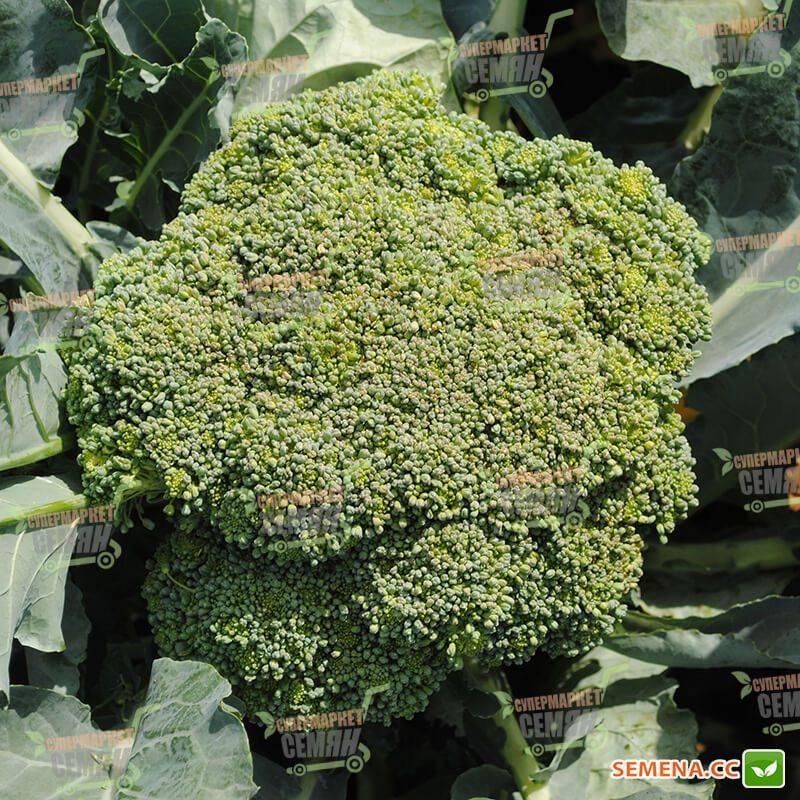 Сорт капусты брокколи грин мэджик f1 — подробное описание