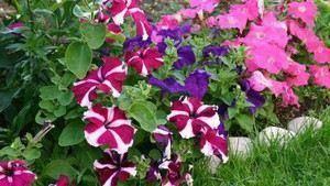 Уход за рассадой петунии после всходов в домашних условиях: правила выращивания