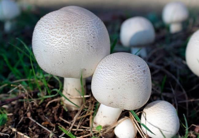 Особенности выращивания лесных грибов на садовом участке