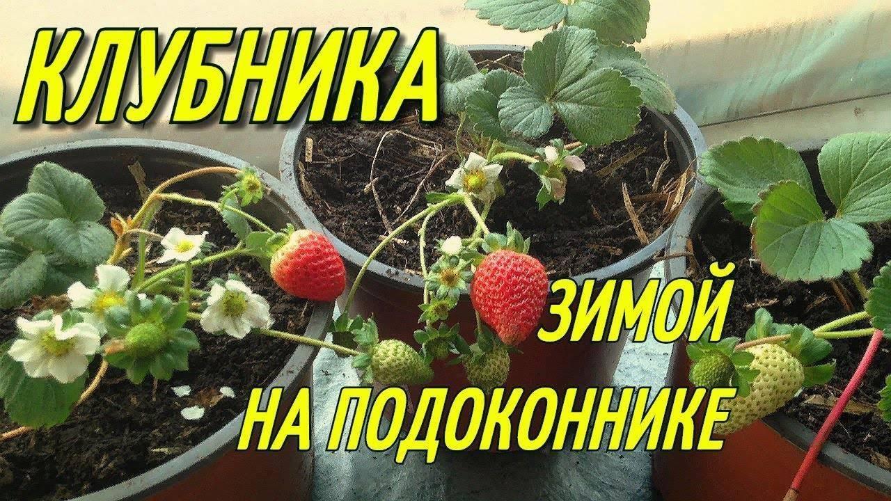 Выращивание клубники в домашних условиях, как выращивать круглый год