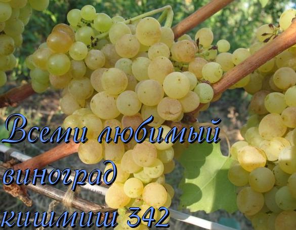 Запорожский кишмиш – скороспелый и урожайный сорт винограда