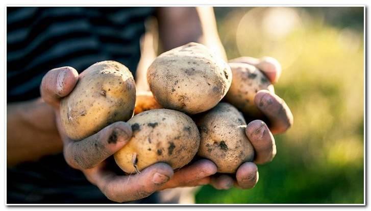 Картофель сынок: описание сорта, фото, отзывы о вкусовых качествах богатыря, рекомендации дачников как правильно сажать, характеристика урожайности