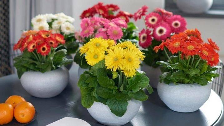 Гербера садовая: особенности посадки и ухода