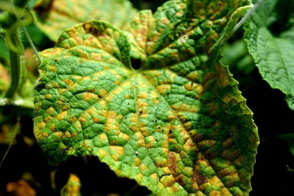 Мраморный рисунок на листьях огурца: причины, лечение и профилактика