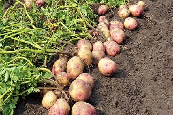 Характеристика, описание, урожайность, отзывы и фото сорта картофеля «романо».
