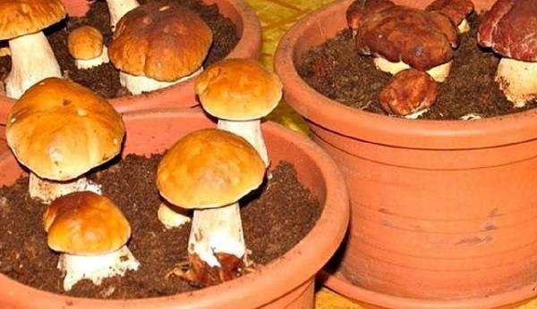 Выращивание грибов в домашних условиях: инструкция для новичков
