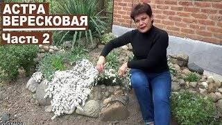 Астра вересковая почвопокровная: советы по выращиванию