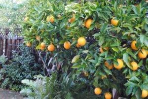 Описание апельсина вашингтон навел - агрономы