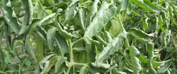 Коротко о главном: почему у капусты скручиваются листья? что делать и чем опрыскать?