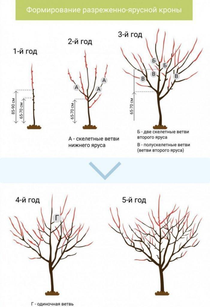 Обрезка абрикоса: виды, схема, особенности весенней, летней и осенней обрезки
