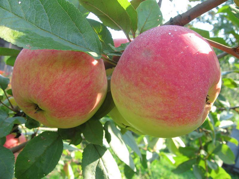 Крупноплодная яблоня баяна: описание сорта - про сорта