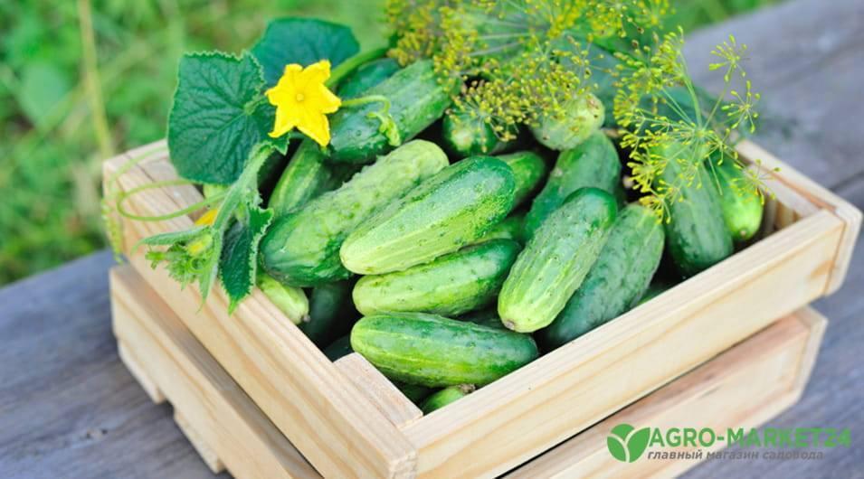 Чем подкармливать огурцы в теплице и в открытом грунте: лучшие удобрения