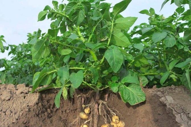 Почему желтеет картофельная ботва и что делать?