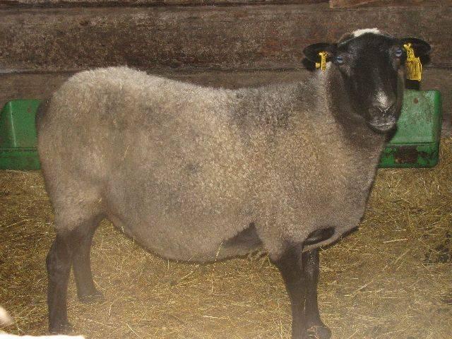 Беременность овцы: сколько ходит беременной овца, окот у овец