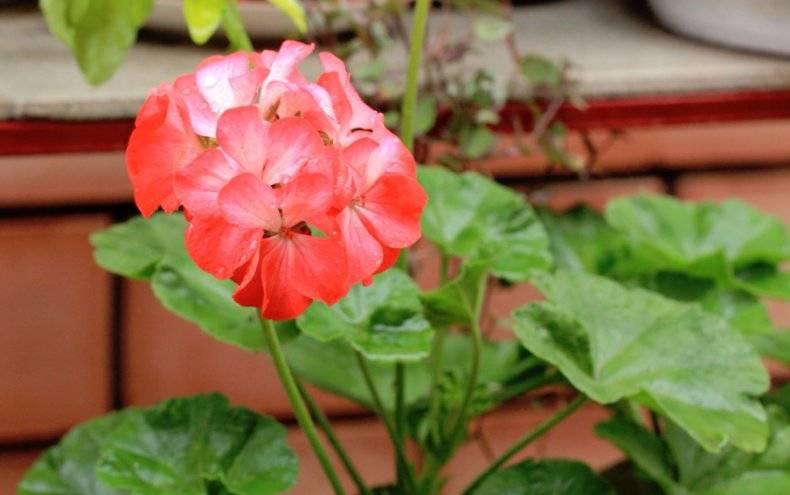 Комнатная пеларгония (pelargonium): сорта и выращивание в домашних условиях