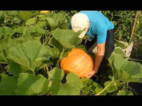 Выращивания и уход за тыквой в домашних условиях русский фермер