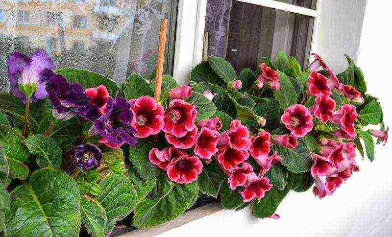 Глоксиния: посадка, уход и выращивание в домашних условиях семян и клубней или как правильно сажать такой комнатный цветок, как синнингия гибридная русский фермер