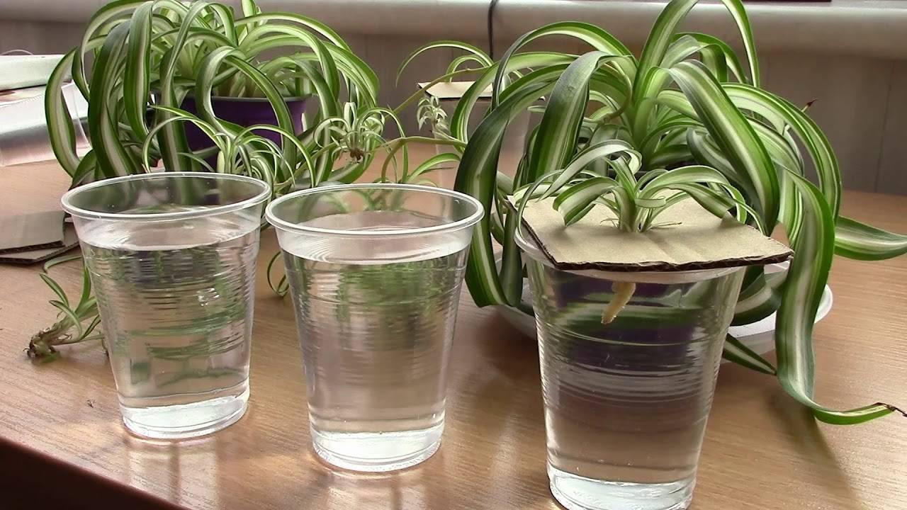 Ваш «домашний эколог» хлорофитум: фото, польза для дома, возможный вред