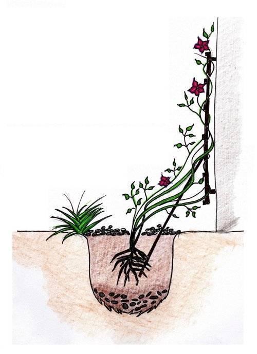 Когда пересаживать клематисы: осенью или весной проводить работы