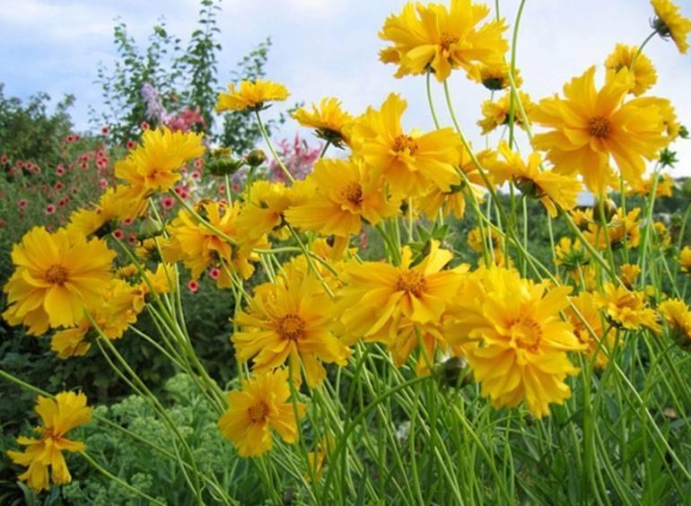 Кореопсис: выращивание и уход в открытом грунте