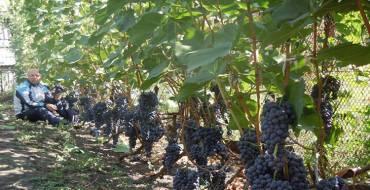 Розовые сорта винограда с описанием и фото