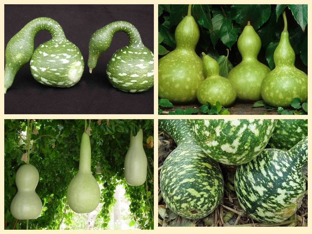 Лагенария: топ секреты выращивания, лучшие сорта с фото и видео