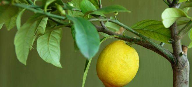 Правила и рекомендации о том, как пересадить лимон в домашних условиях