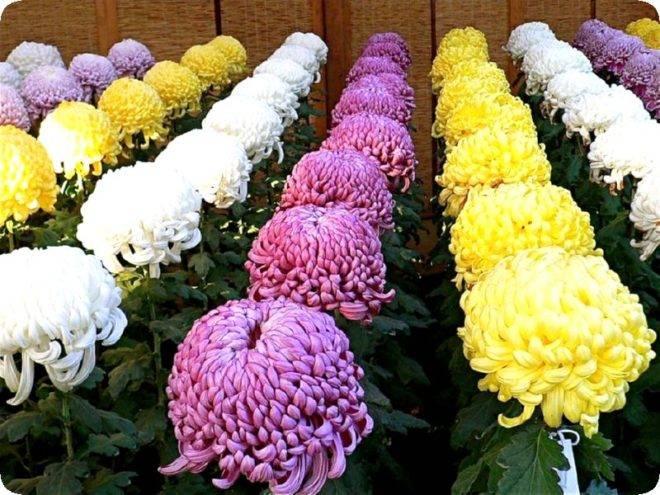 Как сохранить хризантемы зимой в саду в открытом грунте не выкапывая?