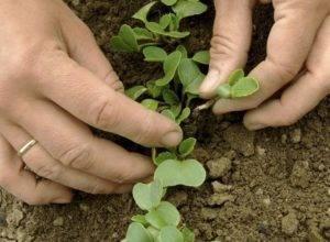 Выращивание черной редьки — сроки посадки в открытый грунт
