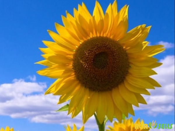 Выращивание подсолнечника: посадка и уход за подсолнухами в огороде