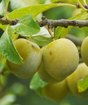Слива — описание 22 самых популярных сортов: желтая, ренклод, венгерка и другие - огород, сад, балкон - медиаплатформа миртесен