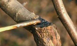 Садовый вар или как сделать замазку для лечения деревьев - защита сада - смолдача - портал дачников, садоводов и любителей загородной жизни