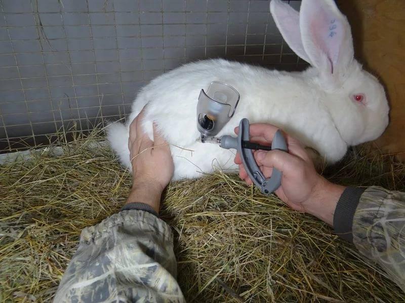 Особенности вакцинация кроликов
