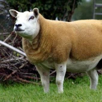 Порода овец тексель: описание, характеристика, фото