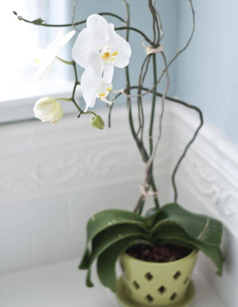 Пересадка орхидей: как пересаживать растение в домашних условиях, как пересадить фаленопсис после покупки в магазине, правильный уход и полив после пересадки