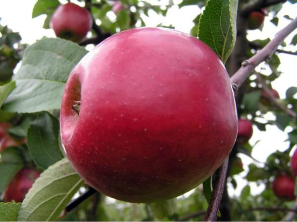 Яблоня коваленковское: особенности сорта, уход и выращивание