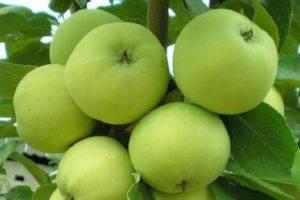 Летняя яблоня солнцедар: описание, фото