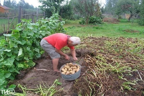 Правильная посадка и выращивание картошки по методу кизимы