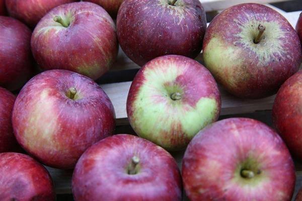Яблоня спартан: описание сорта яблок, посадка + фото, отзывы