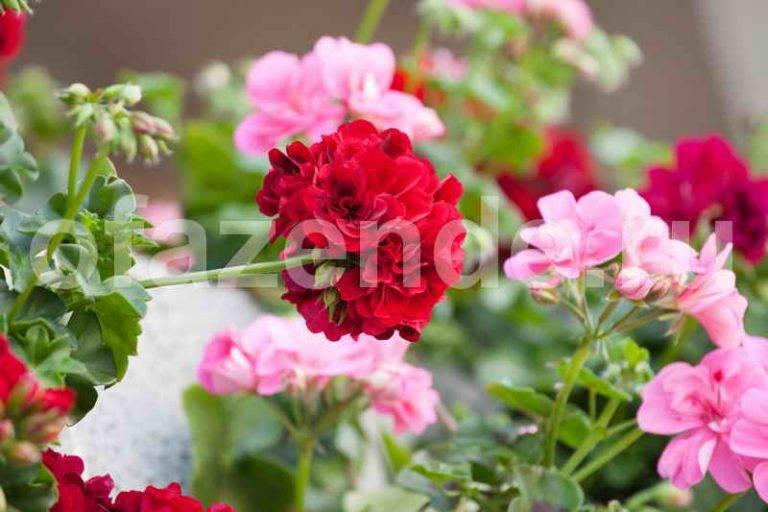 Способы обрезки герани для пышного цветения