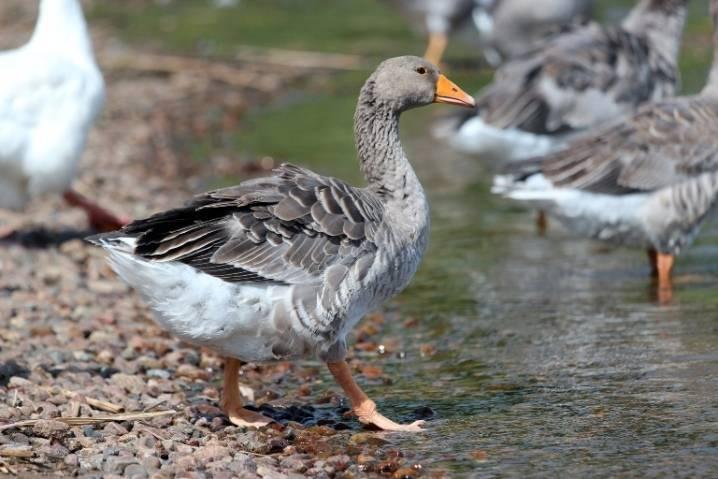 Крупная серая порода гусей: описание с фото, разведение, характеристика и отзывы