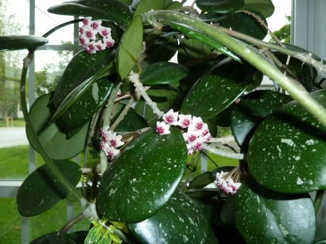 Хойя: популярные виды с фото, как ухаживать и заставить цвести