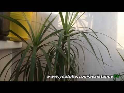 Опадение листьев у драцен, какие причины: болезни, вредители, что предпринять